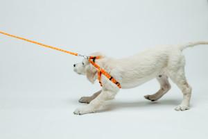 foto van een puppy aan de lijn, die weigert te lopen als metafoor voor de professional die wil veranderen en motiveren